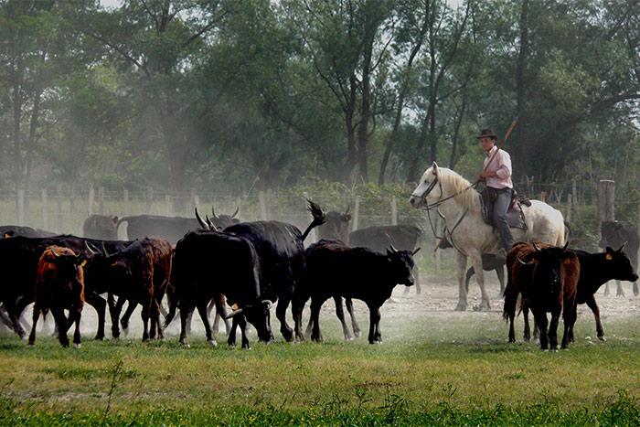 La manade de vaches