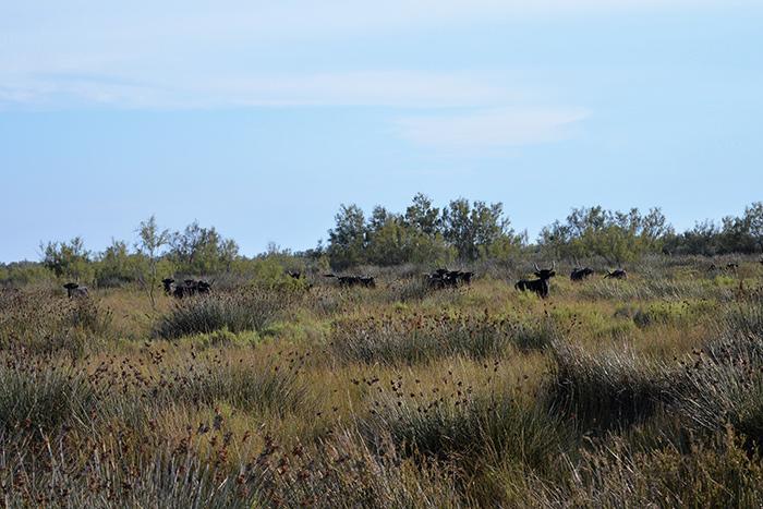 Vaches dans les marais - Photo J. Cadeau